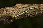 Moth larvae, Caterpillar (Lymantriinae sp) on a branch, Andasibe (Périnet), Alaotra-Mangoro Region, Madagascar