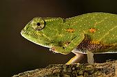Canopy chameleon, Wills' chameleon (Furcifer willsii) on a branch, Andasibe (Périnet), Alaotra-Mangoro Region, Madagascar