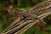 Graceful Madagascar Ground Gecko (Paroedura gracilis), Andasibe (Périnet), Alaotra-Mangoro Region, Madagascar