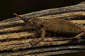 Lance-nosed chameleon (Calumma gallus) on a branch, Andasibe (Périnet), Alaotra-Mangoro Region, Madagascar