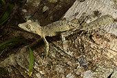 Mossy leaf-tailed gecko (Uroplatus sikorae) on a trunk in forest, Andasibe (Périnet), Alaotra-Mangoro Region, Madagascar