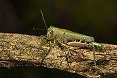Locust (Euthymia fasciata), Andasibe (Périnet), Alaotra-Mangoro Region, Madagascar