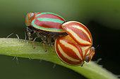 Cicadelle (Hemisphaerius sp), Singapour