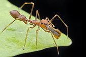 Jumping Spider (Myrmaplata plataleoides) mimicking Weaver ant (Singapore)
