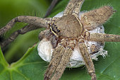 Huntsman spider with hatching egg sac (Singapore)