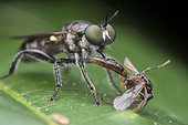 Green eyed robberfly with wing ant prey (Singapore)