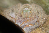 Huntsman spider guarding her eggs sac (Malaysia)