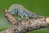 Blue broad nosed weevil resting in a branch (Malaysia)