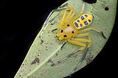 Adult Female Eight-spotted crab-spider (Singapore)