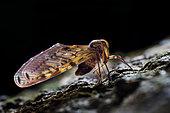 Backlit shot of a Berbid planthopper (Singapore)
