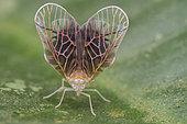 Portrait of a derbid planthopper (Malaysia)
