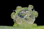 Freshly hatched baby land snails (Singapore)