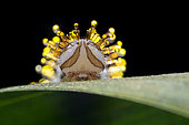 When distrurb, Pieridae Caterpillar secrete a clear, oily fluid that collects in drops at the tips of its hairs as chemical defense (Singapore)
