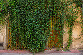 "Vegetation of the city by micro-flowering, Trailing Abutilon (Abutilon megapotanicum), district of the shield, street Roucher, Montpellier, France. As part of ""Montpellier Cité Jardins"", the City of Montpellier is setting up a ""Vegetation Permit"""