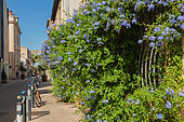 "Vegetation of the city by micro-flowering, climbing plant Cape leadwort (Plumbago auriculata), Mediterranean District, Montpellier, France. As part of ""Montpellier Cité Jardins"", the City of Montpellier is setting up a ""Vegetation Permit"""
