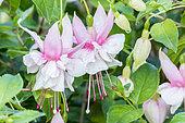 Fuchsia 'Rolla' Breeder : Lemoine (FRA)