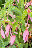 Begonia boliviensis Sun Cities 'San Francisco'