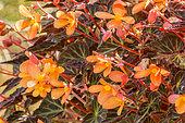 Begonia 'Glowing Ambers'