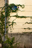"""Vegetation of the city by micro-flowering, Ipomée (Opomoea volubilis), Arceaux District, Gustave Street, Montpellier, France. As part of """"Montpellier Cité Jardins"""", the City of Montpellier is setting up a """"Vegetation Permit"""""""