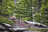 Rough-legged Hawk, (buteo lagopus), Vrangel Bay of the Sea of Okhotsk, eastern Russia.