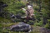 Rough-legged Hawk, (Buteo lagopus), flying in the forest, Vrangel Bay of the Sea of Okhotsk, eastern Russia.