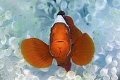 portrait of a Tomato Clownfish, Amphiprion frenatus, Father Reefs, Bismark Sea, West New Britain, Papua New Guinea .
