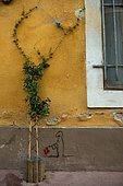 """Vegetation of the city by micro-flowering, Confederate jasmine (Trachelospermum jasminoides), Mediterranean district, Montpellier, France In the framework of """"Montpellier Cité Jardins"""", the City of Montpellier sets up a """"Permis to vegetate »"""