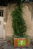 """Vegetation of the city by bins at the foot of the walls. Potato Vine (Solanum jasminoides), Mediterranean district, Montpellier, France In the framework of """"Montpellier Cité Jardins"""", the City of Montpellier sets up a """"Permis to vegetate »"""