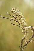 Ordinary or European Chameleon (Chamaeleo chamaeleon), Algarve, Portugal, Europe
