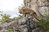 Red fox (Vulpes vulpes) on rocks, yawning, Gesäuse National Park National Park, Styria, Austria, Europe