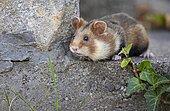 European hamster (Cricetus cricetus) in a park, Austria, Europe