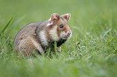 European hamster (Cricetus cricetus) in a green meadow, Austria, Europe