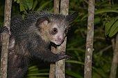 Aye-Aye (Daubentonia madagascariensis), nocturnal, rainforest, eastern Madagascar, Madagascar, Africa