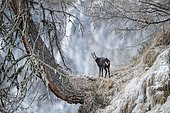 Chamois (Rupicapra rupicapra) in hoarfrost stands on old larch, Stubai Valley, Tyrol, Austria, Europe