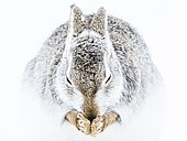 Mountain hare (Lepus timidus) cleans itself in the snow, animal portrait, winter coat, Cairngroms National Park, Highlands, Scotland, Great Britain