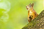 Eurasian red squirrel (Sciurus vulgaris) with hazelnut in mouth at tree trunk, Lower Austria, Austria, Europe
