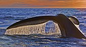 Fluke, Southern right whale (Eubalaena australis), descending in front of sunset, Valdés Peninsula, Argentina, South America