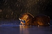 European otter (Lutra lutra) in rain with captured fish in backlight, Kiskunsági National Park, Hungary, Europe