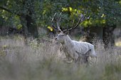 Red deer (Cervus elaphus), rutting stag in tall grass, white morph, Zealand, Denmark, Europe