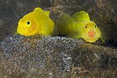 Yellow Gobies, Lubricogobius exiguus, protecting their eggs. Tulamben, Bali, Indonesia, Pacific Ocean.