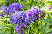 Scabiosa Atropurpurea 'Qis Deep Blue'