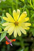 Osteospermum ecklonis 'Voltage Yellow'