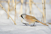 An adult Bearded reedling (Panurus biarmicus) walking on the snow in search of food and protected from the wind. Taken during really cold conditions of -20C in January in Stockholm, Sweden