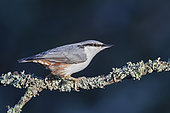 Eurasian Nuthatch (Sitta europaea) in the sun on a frosty branch. Taken in the middle of winter in Stockholm, Sweden.