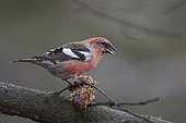 Two-barred Crossbill (Loxia leucoptera) of the european subspecies bifasciata. Here an adult male feeding on a pine cone.