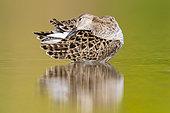 Ruff (Philomachus pugnax), adult female preening in a pond, Campania, Italy