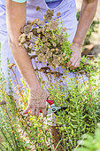 Woman pruning a Sweet yarrow (Achillea ageratum) in summer to encourage re-flowering.