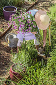 Woman planting an Aster in bloom to brighten a massif in late summer