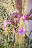 Cleaning the withered flowers of garden Amaryllis (Amaryllis belladonna)