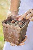 Sowing peach kernels (Persica vulgaris) in pot
